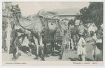 Maharaja's Camel, Jaipur